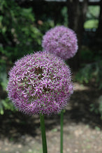 Load image into Gallery viewer, Globemaster Ornamental Onion flowers