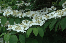 Load image into Gallery viewer, Shasta Doublefile Viburnum flowers