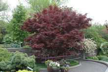 Load image into Gallery viewer, Bloodgood Japanese Maple