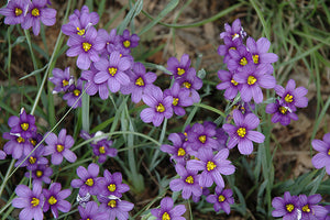 Lucerne Blue-Eyed Grass flowers