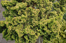 Load image into Gallery viewer, Dwarf Golden Hinoki Falsecypress foliage