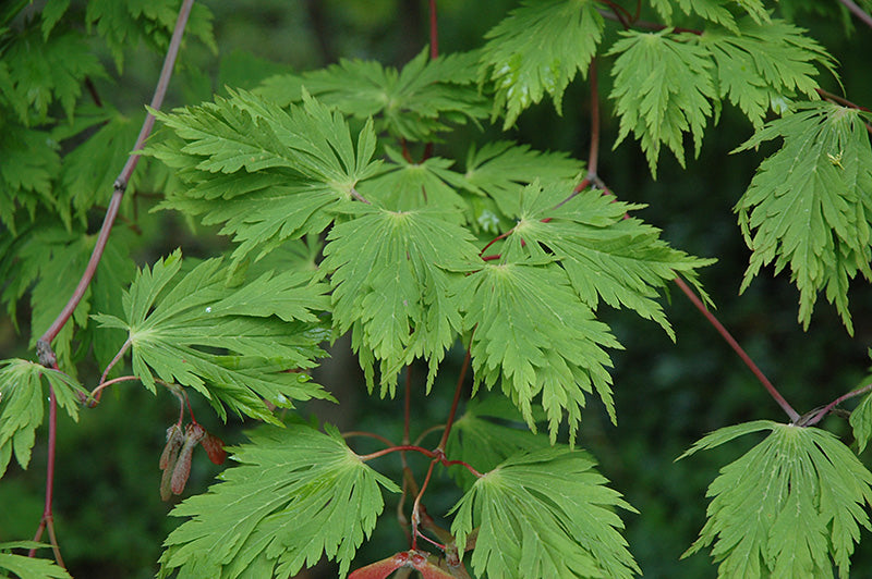 Cutleaf Fullmoon Maple foliage