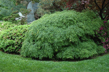 Load image into Gallery viewer, Cutleaf Japanese Maple