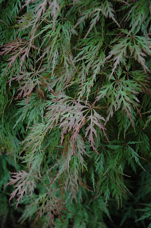 Orangeola Cutleaf Japanese Maple foliage