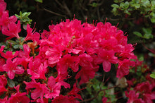 Load image into Gallery viewer, Hino Crimson Azalea flowers