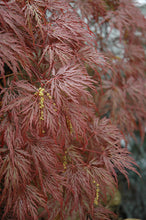 Load image into Gallery viewer, Inaba Shidare Cutleaf Japanese Maple foliage