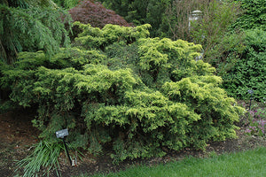 Saybrook Gold Juniper