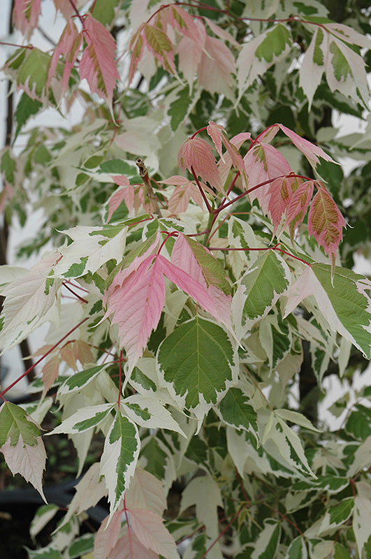 Flamingo Boxelder foliage