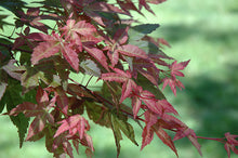 Load image into Gallery viewer, Monroe Vine Maple in spring