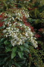 Load image into Gallery viewer, Mountain Fire Japanese Pieris flowers