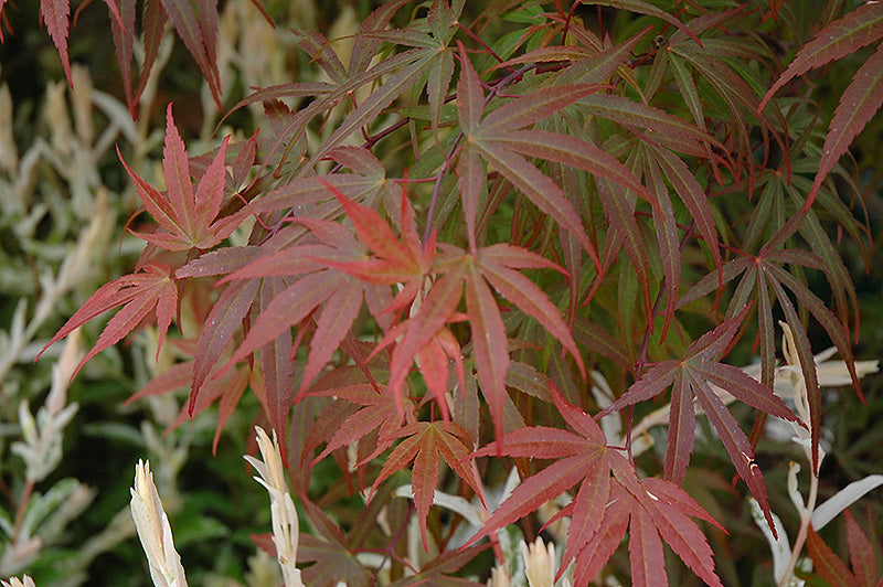 Dwarf Red Pygmy Japanese Maple foliage