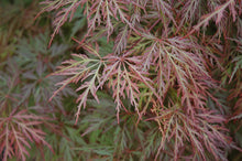 Load image into Gallery viewer, Orangeola Cutleaf Japanese Maple foliage