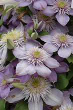 Load image into Gallery viewer, Blue Light Clematis flowers