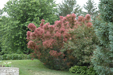 Load image into Gallery viewer, Royal Purple Smokebush in bloom