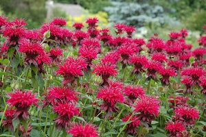 Raspberry Wine Beebalm flowers