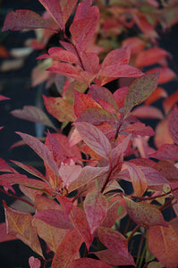 Little Henry® Virginia Sweetspire in fall