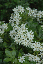 Load image into Gallery viewer, Mexican Mock Orange flowers