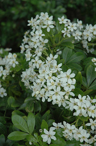 Mexican Mock Orange flowers