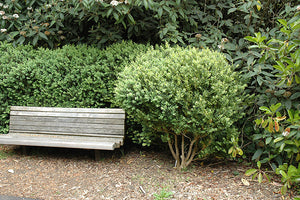 Common Boxwood