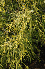Load image into Gallery viewer, Lemon Thread Falsecypress foliage