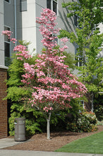 Load image into Gallery viewer, Cherokee Brave Flowering Dogwood in bloom
