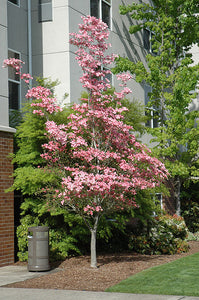 Cherokee Brave Flowering Dogwood in bloom