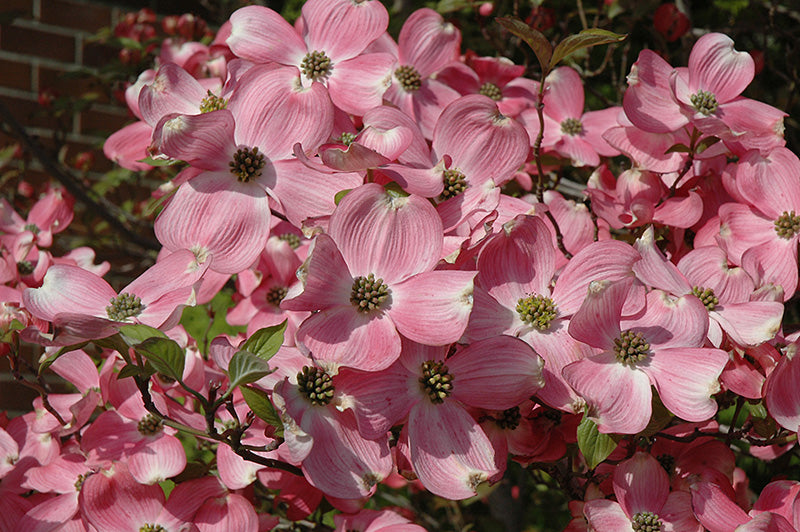 Cherokee Brave Flowering Dogwood flowers