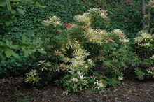 Load image into Gallery viewer, Forest Flame Japanese Pieris
