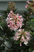 Load image into Gallery viewer, Pink Princess Escallonia flowers