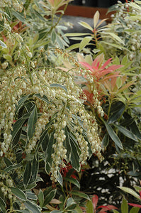 Flaming Silver Japanese Pieris flowers