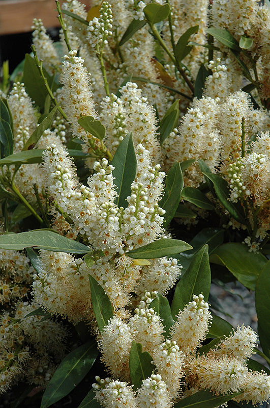 Dwarf English Laurel flowers