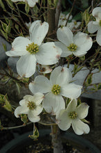Load image into Gallery viewer, Cherokee Daybreak Flowering Dogwood flowers