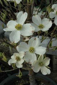 Cherokee Daybreak Flowering Dogwood flowers