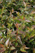 Load image into Gallery viewer, Edward Goucher Abelia foliage