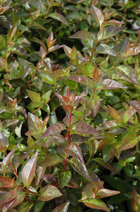 Edward Goucher Abelia foliage
