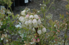 Load image into Gallery viewer, Duke Blueberry flowers