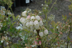Duke Blueberry flowers