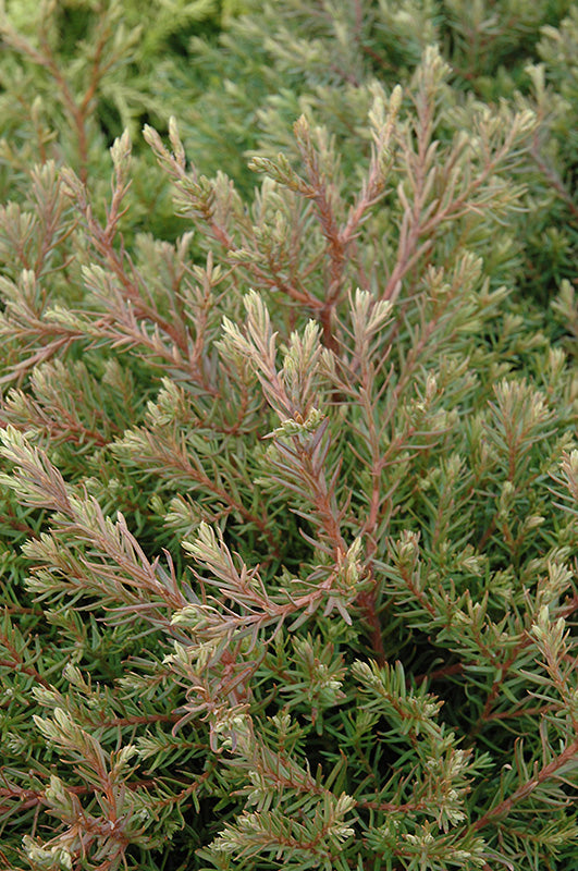 Heatherbun Whitecedar foliage