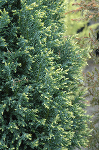 Snow White Falsecypress foliage