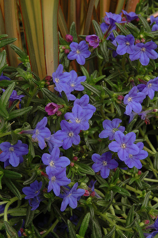 Grace Ward Lithodora in bloom