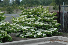 Load image into Gallery viewer, Shasta Doublefile Viburnum in bloom