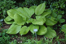 Load image into Gallery viewer, Sum and Substance Hosta foliage