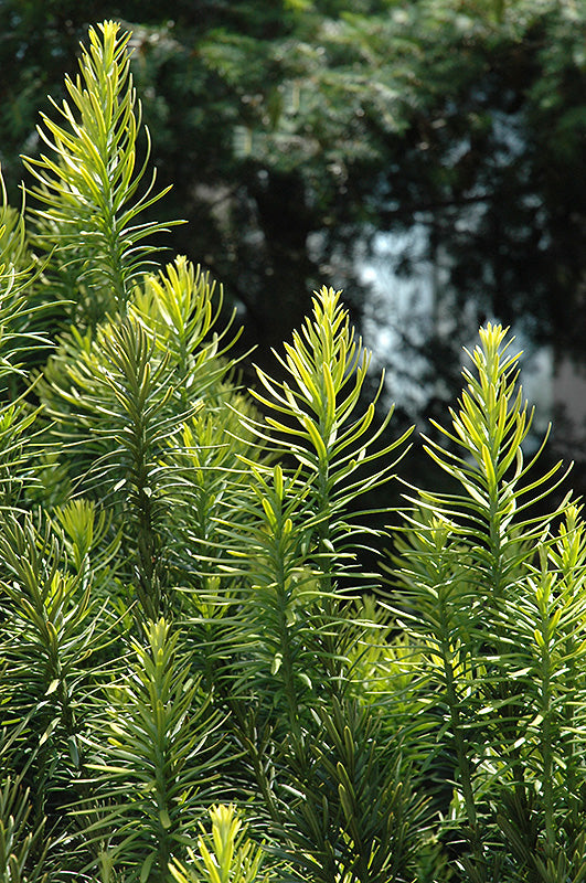 Korean Gold Plum Yew foliage