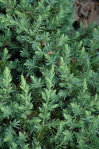 Blue Pacific Shore Juniper foliage