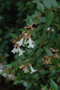 Edward Goucher Abelia flowers