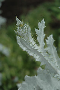 Cardoon foliage