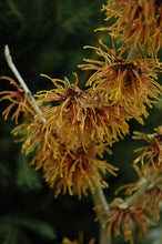 Load image into Gallery viewer, Jelena Witchhazel flowers