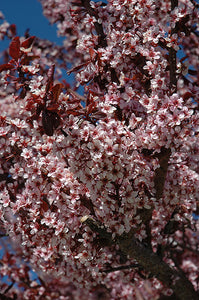 Thundercloud Plum flowers