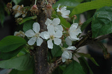 Load image into Gallery viewer, Rainier Cherry flowers