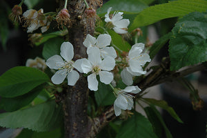 Rainier Cherry flowers